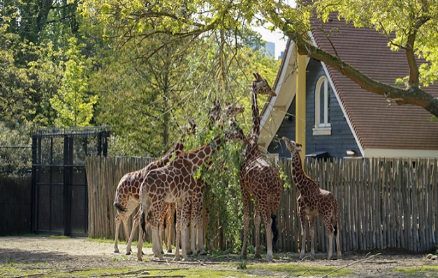 Graceful feeding posts for giraffes